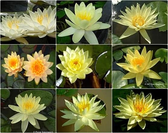 Cheap water lily discount water lily assorted color for Cheap pond plants