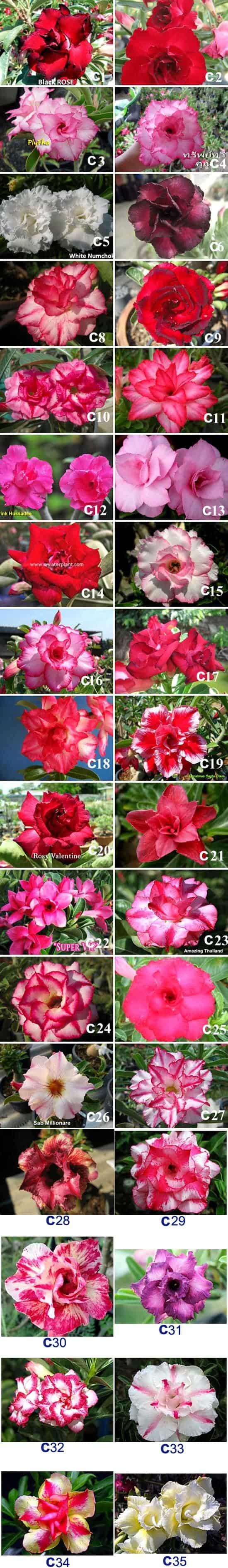 Popular Thai Rosy Adenium FLOWER set C