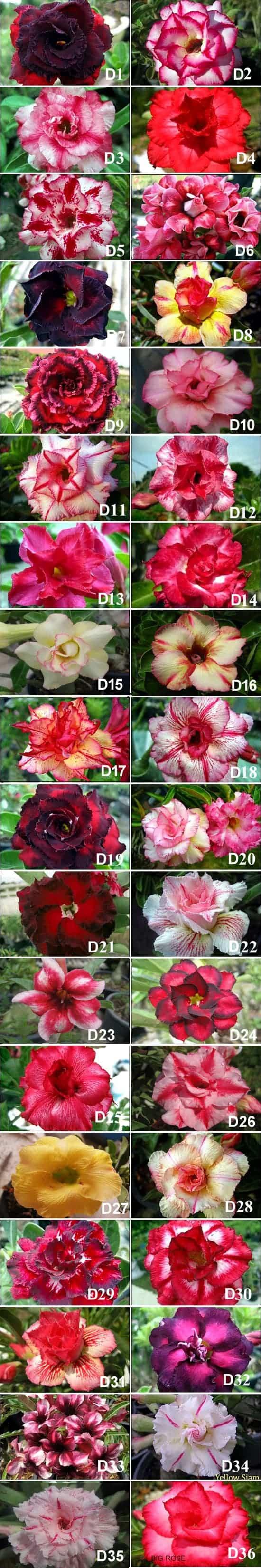 New flower Adenium double triple petal flower set D