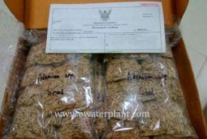 Genuine Adenium seed for sale : Rosy Adenium seed from Thailand