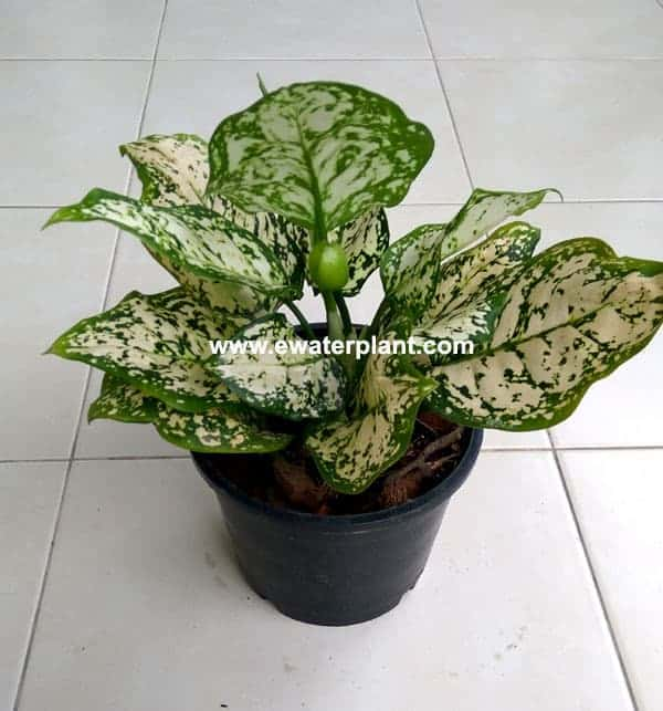 Aglaonema size and packing for oversea order ...