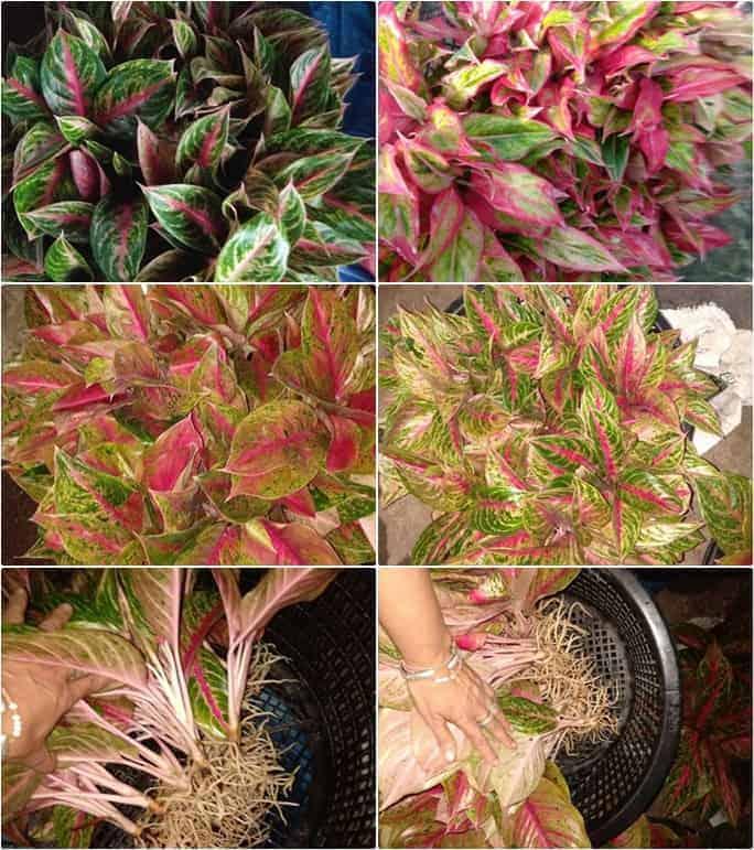 Aglaonema varieties