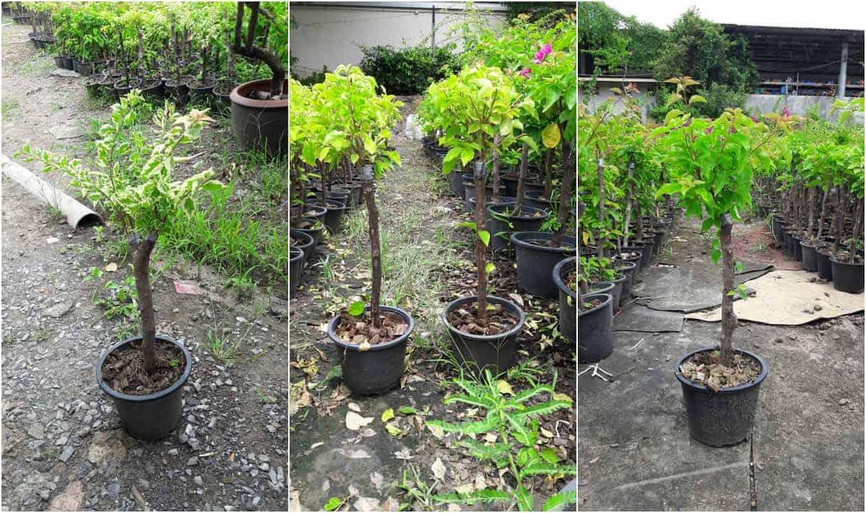 Bougainvillea grafted plant
