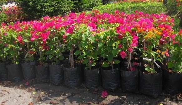 Bougainvillea assorted color