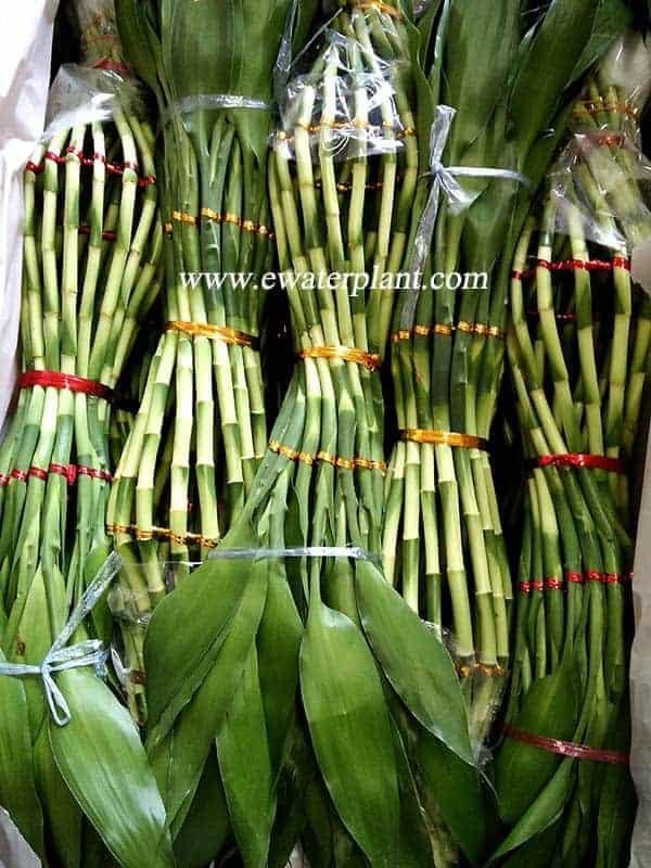 Lucky bamboo vase shape