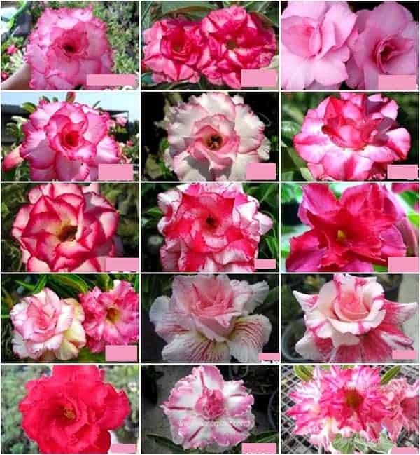 Adenium pink double triple petal flower for sale