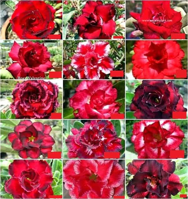 Adenium assorted Red flowers