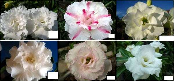 Adenium assorted flower white