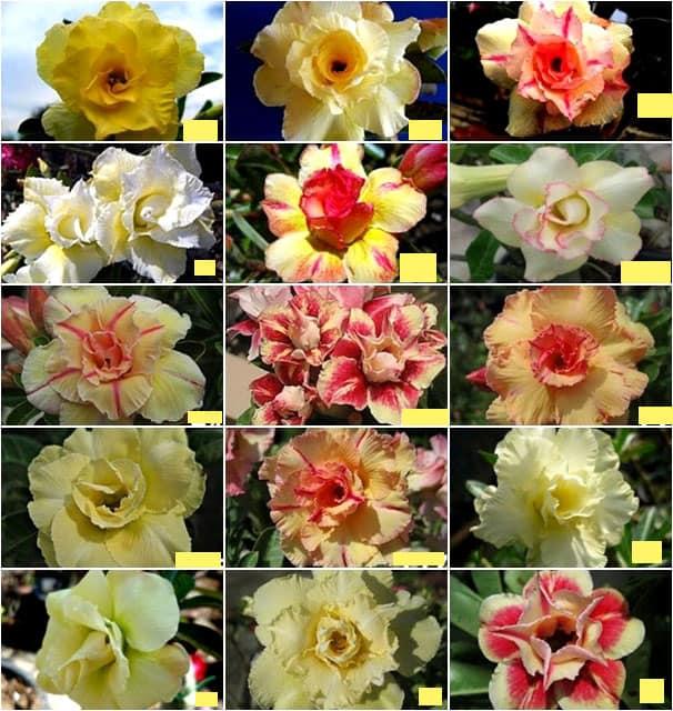 Yellow double triple petal flower adenium for sale