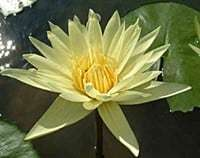 Dinner light Nymphaea for sale