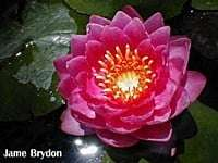 James Brydon Red colour waterlily
