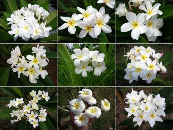 Plumeria assorted flower white