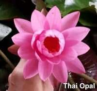 Thai opal Hardy water lily Thailand