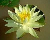 Yellow Bangpra