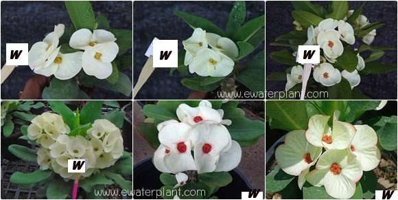 Euphorbia milii assorted flower white