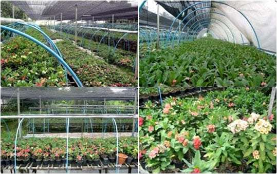 Euphorbia milii garden