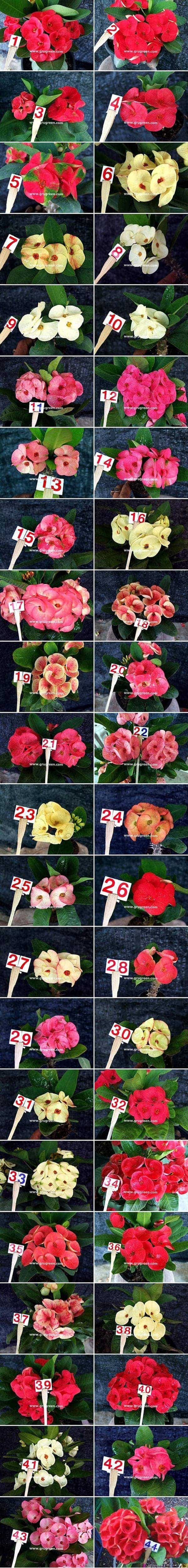 Euphorbia milii for sale catalog