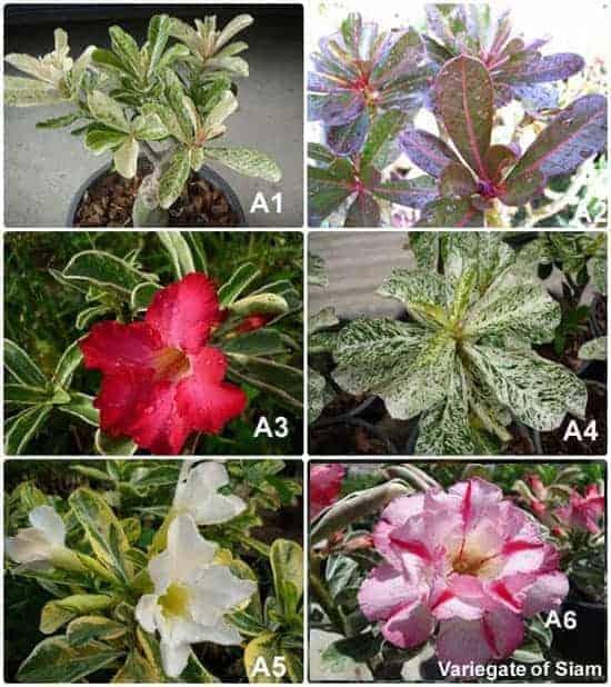 Adenium rosy flower variegate leave
