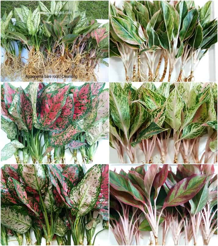 Aglaonema assorted color