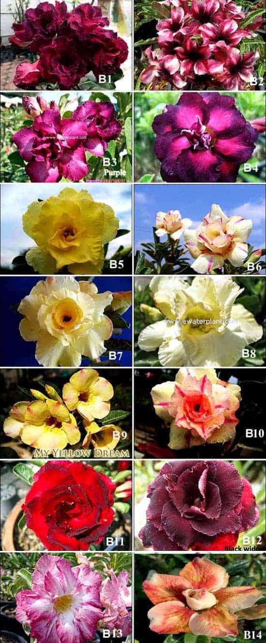 Adenium rosy flower group B