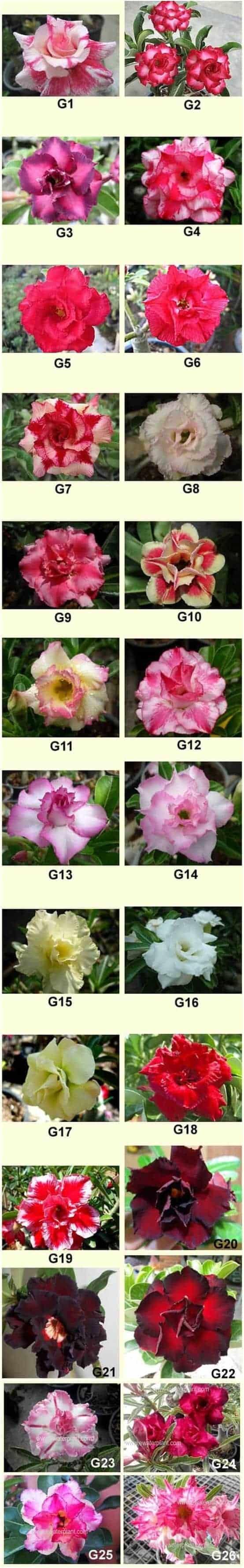 Adenium rosy flower group G