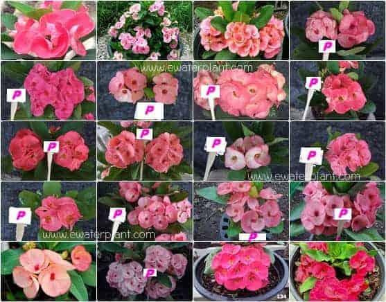 Euphorbia milii flower pink