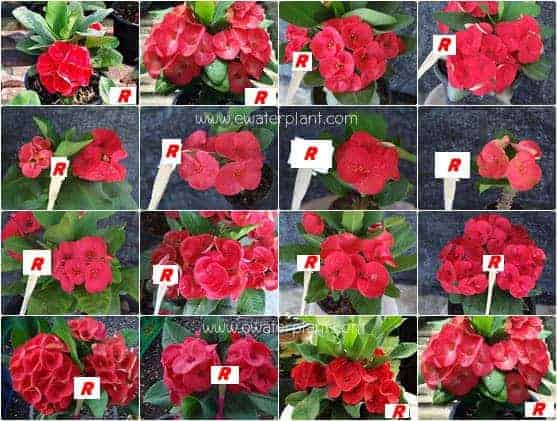 Euphorbia milii flower red