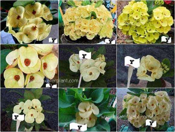 Euphorbia milii flower yellow
