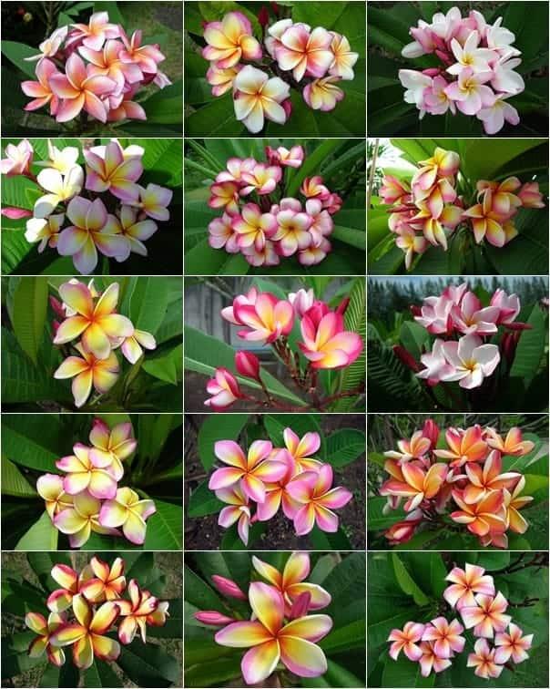 Thai Plumeria flower fancy Thailand