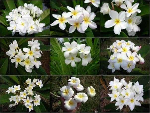 Thai Plumeria flower white