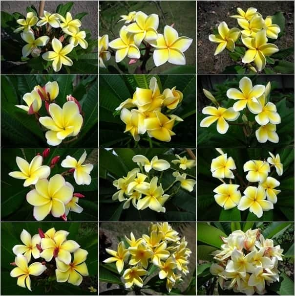 Thai Plumeria flower yellow