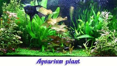 Aquarium plant variety category