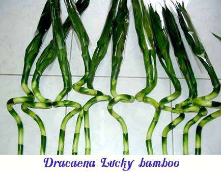 Dracaena lucky bamboo for sale