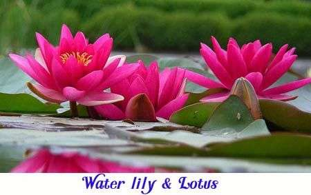 Water lily plant for pond category