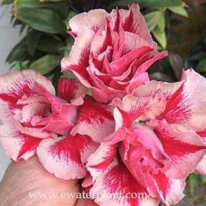 Adenium for sale 2020
