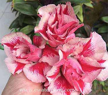 Adenium for sale catalog