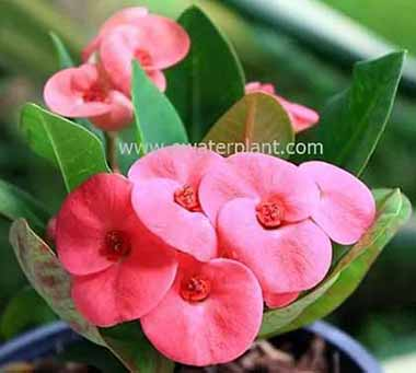 Euphorbia milii catalog for sale