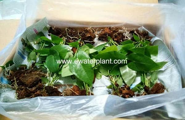 Anthurium Thailand for sale