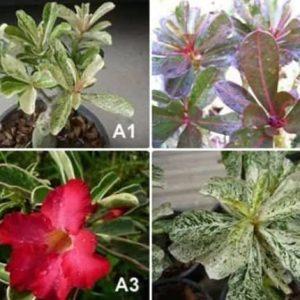 Desert rose variegate