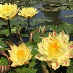Thai Water lily sale and export