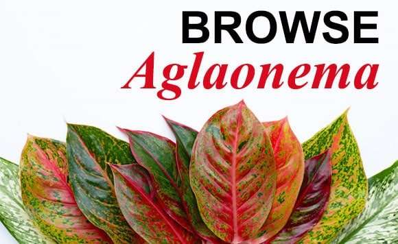 Aglaonema products