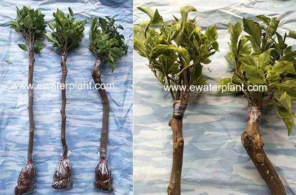 Bougainvillea grafted for sale