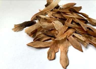Buy fresh Plumeria seed