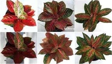 Aglaonema plants
