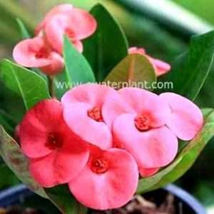 Euphorbia milii for sale
