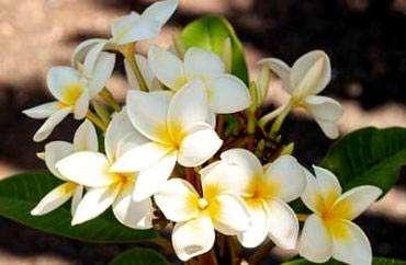 Plumeria plant variety