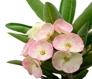 Euphorbia milii shop